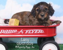 Lacy, female Dachshund puppy