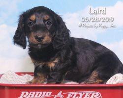 Laird, male Dachshund puppy