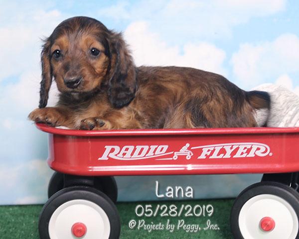 Lana, female Dachshund puppy