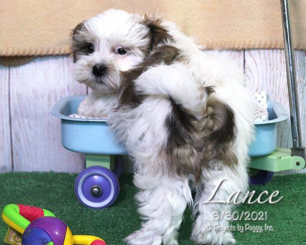 Lance, male Coton Tzu puppy