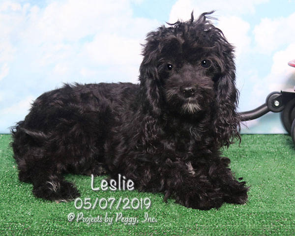 Leslie, female Cavapoo puppy