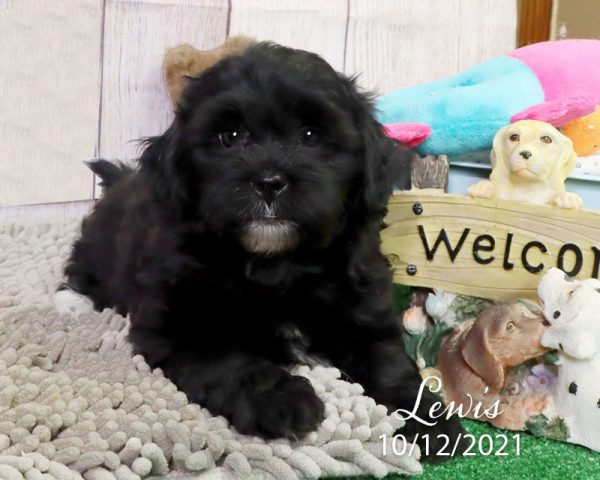Lewis, male Shihpoo puppy