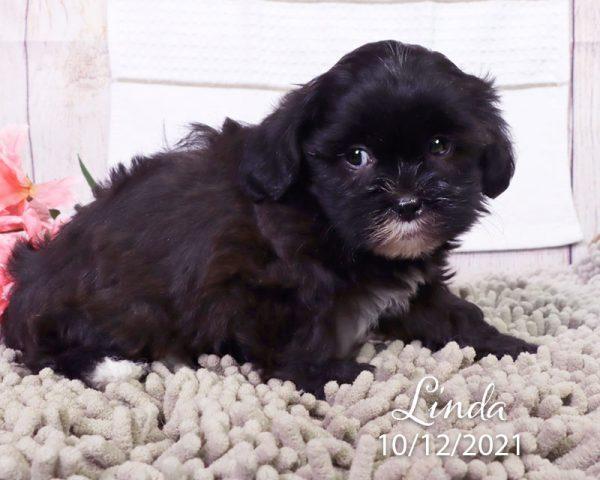 Linda, female Shihpoo puppy