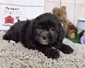 Link, male Shihpoo puppy