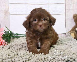 Lisa, female Shihpoo puppy