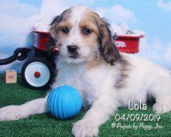 Lola, female Cockapoo puppy