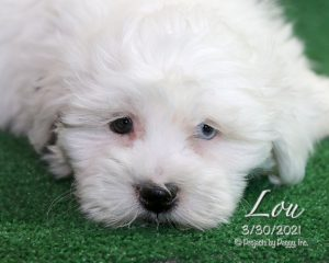 Lou, male Coton Tzu puppy