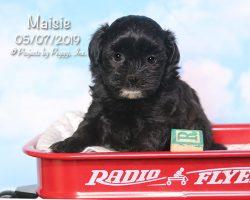 Maisie, female Shihpoo puppy