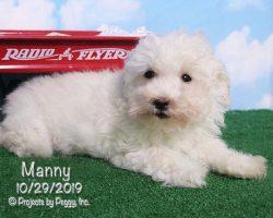 Manny, male Havapoo puppy