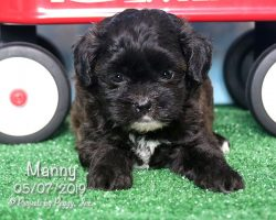 Manny, male Shihpoo puppy