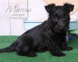 Marcus, male Scottish Terrier puppy