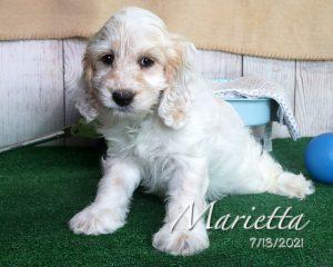 Marietta, female Cockapoo puppy