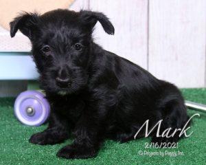 Mark, male Scottish Terrier puppy