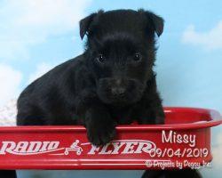 Missy, female Scottish Terrier puppy