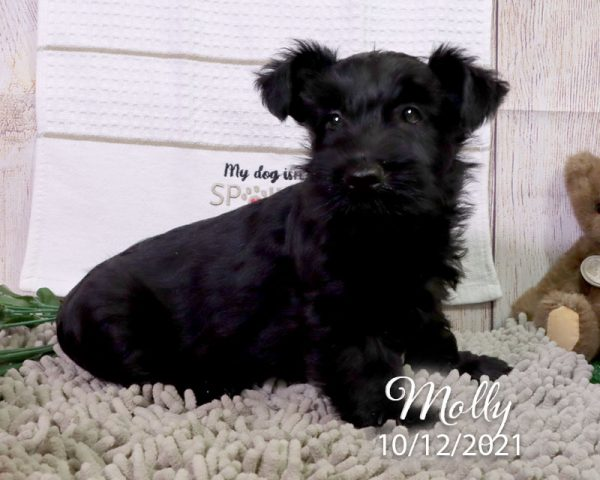Molly, female Scottish Terrier puppy
