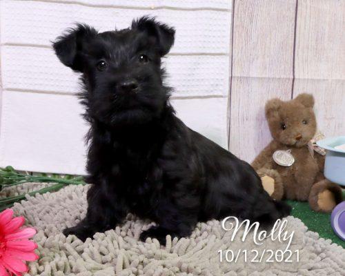 Molly (F) – Scottish Terrier