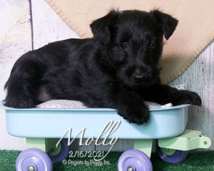 Molly, female Scottish Terrier puppy
