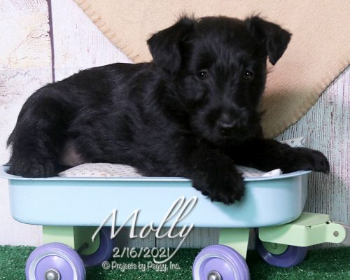 Molly (F) – Scottish Terrier – Reserved