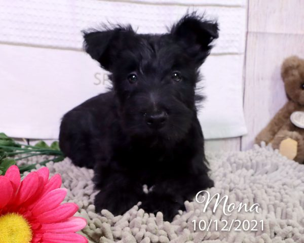 Mona, female Scottish Terrier puppy