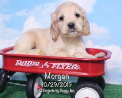 Morgan, male Cocker Spaniel puppy
