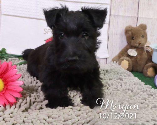 Morgan (M) – Scottish Terrier – Hold