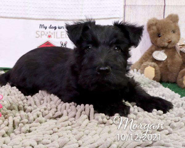 Morgan, male Scottish Terrier puppy