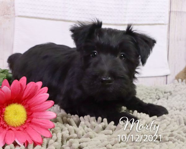 Morty, male Scottish Terrier puppy