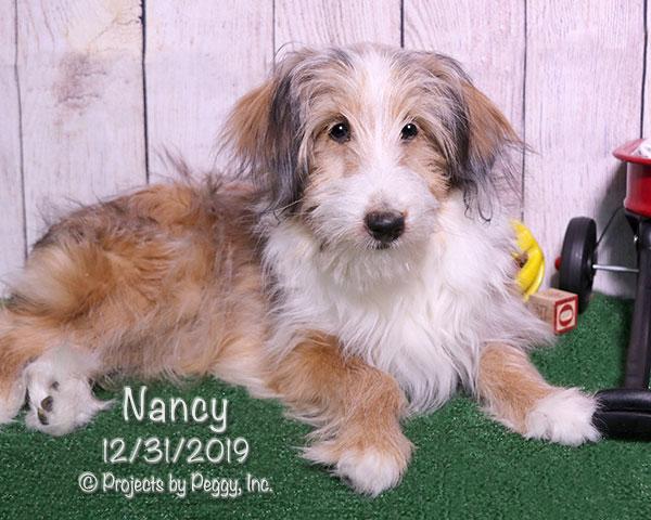 Nancy, female Sheltiedoodle puppy