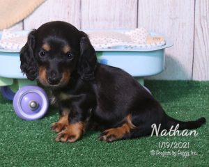 Nathan, male Dachshund puppy
