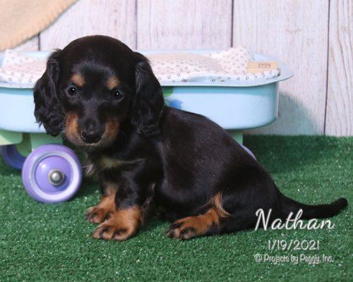 Nathan – Dachshund (M)