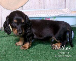 Nathan, male Dachshund puppy