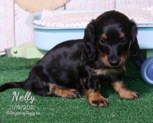Nelly, female Dachshund puppy