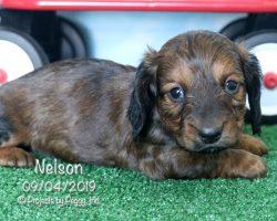 Nelson, male Dachshund puppy
