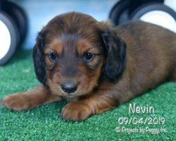 Nevin, male Dachshund puppy