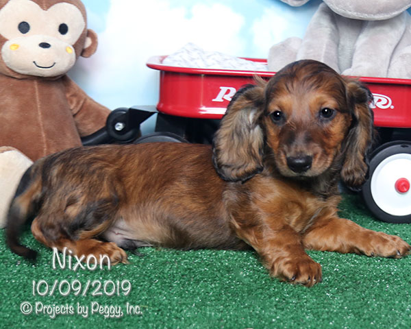 Nixon, male Dachshund puppy