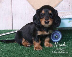 Noah, male Dachshund puppy