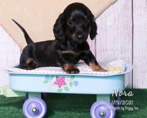 Nora, female Dachshund puppy