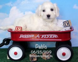 Pablo, male Coton de Tulear puppy