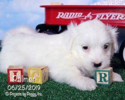 Palmer, male Coton de Tulear puppy