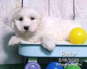 Parker, male Coton de Tulear puppy