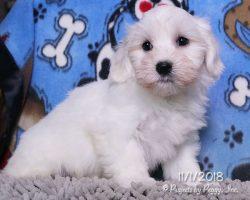 Paul, male Coton de Tulear puppy