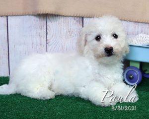 Paula, female Bichon Frise puppy
