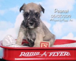 Peanut, male Miniature Schnauzer puppy