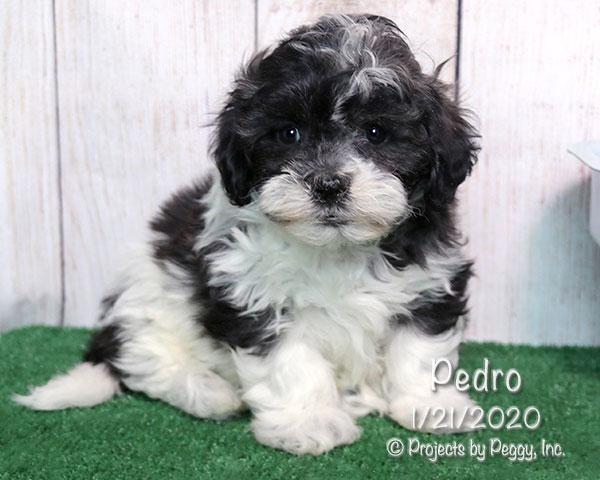 Pedro (M)