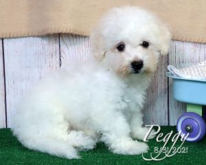 Peggy, female Bichon Frise puppy