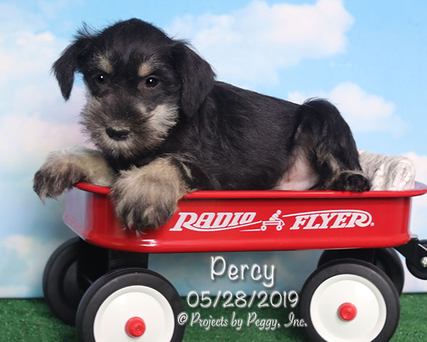 Percy (M) – Reserved