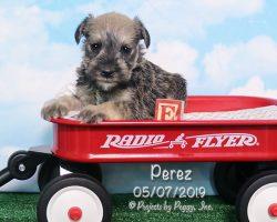 Perez, male Miniature Schnauzer puppy