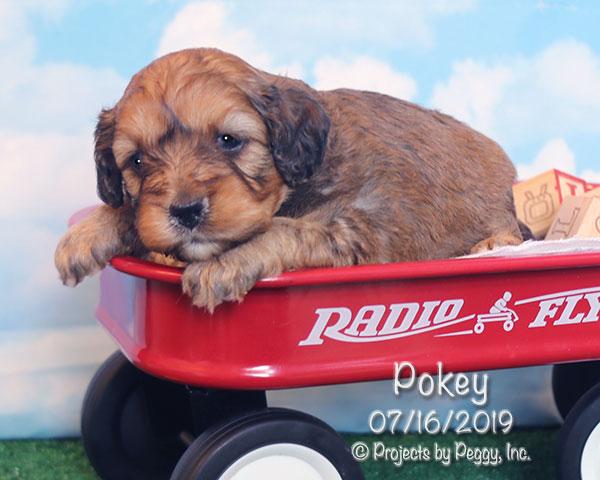 Pokey, male Cavapoo puppy