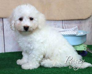 Posey, female Bichon Frise puppy