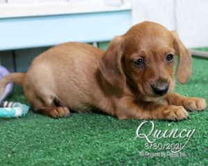 Quincy, male Dachshund puppy